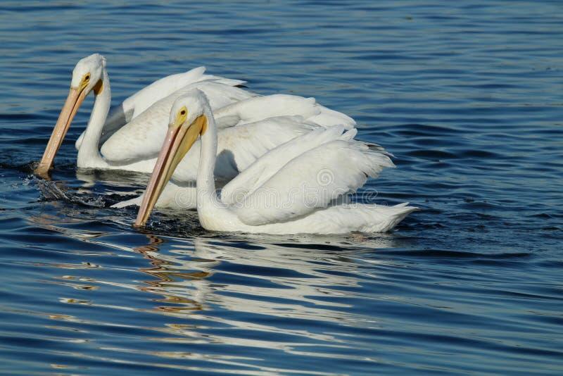 Dos pelícanos blancos que nadan imagenes de archivo