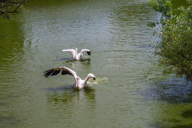 Dos pelícanos blancos que nadan imagen de archivo