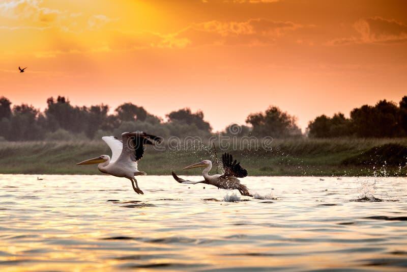 Dos pelícanos del delta de Danubio foto de archivo