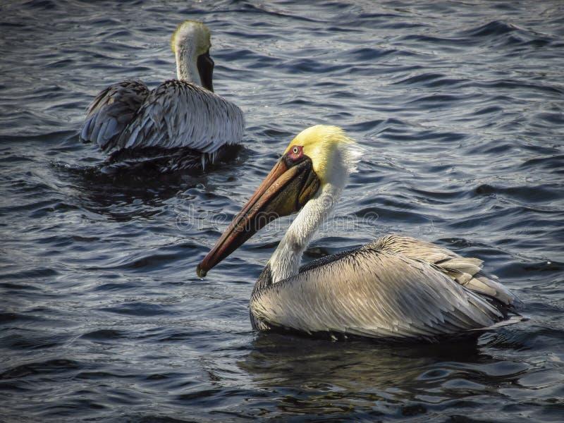 Dos pelícanos marrones en agua fotografía de archivo libre de regalías