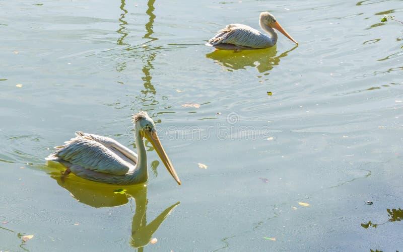 Dos pelícanos que nadan en el cierre del lago del agua para arriba imagenes de archivo