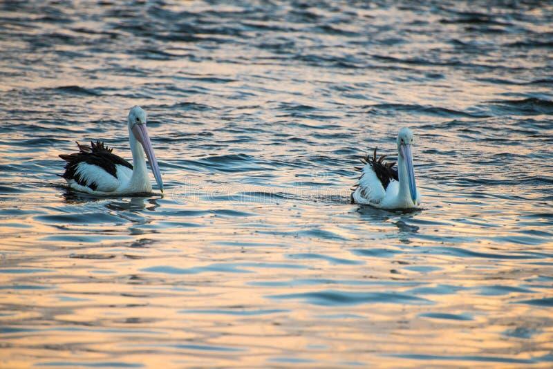 Dos pelícanos que nadan en la oscuridad imagenes de archivo