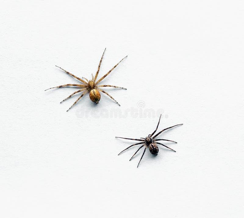 Dos pequeñas arañas en blanco imagenes de archivo