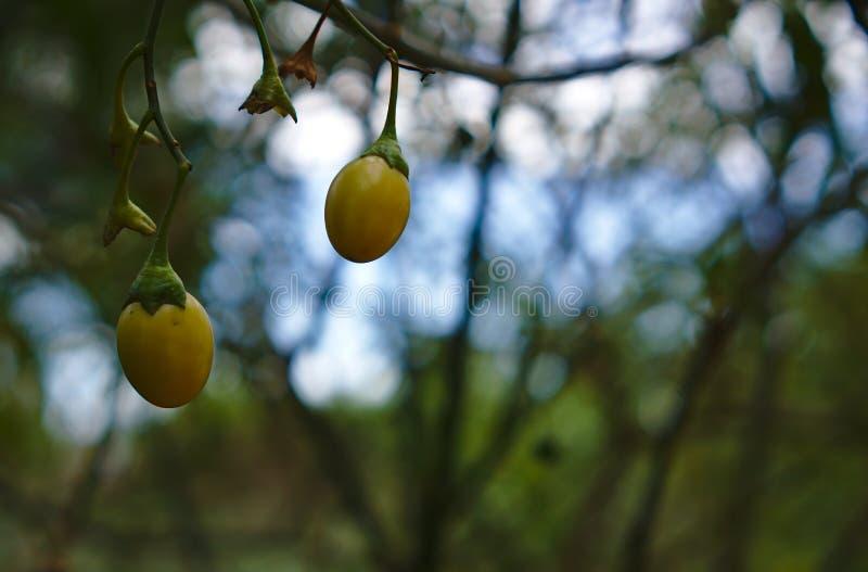 Dos pequeñas frutas salvajes en color amarillo claro fotos de archivo