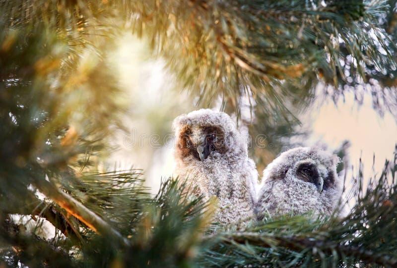 Dos pequeños búhos del bebé en el bosque fotografía de archivo libre de regalías