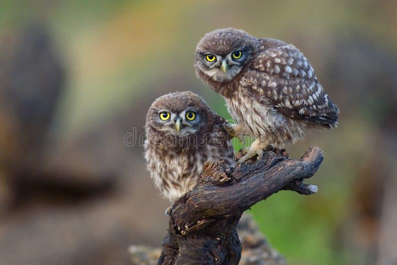 Dos pequeños búhos jovenes se sientan en un palillo y miran adelante foto de archivo