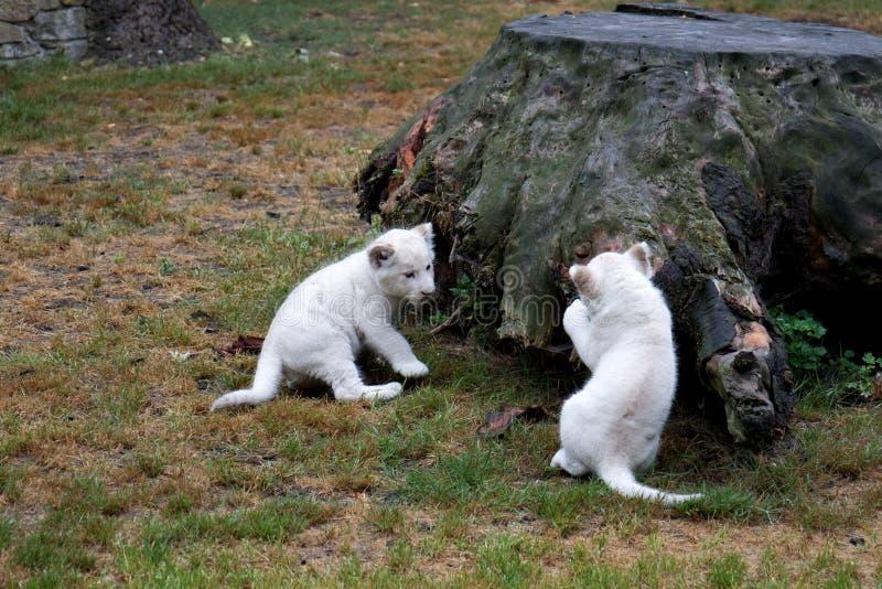Dos pequeños babys del león que juegan delante de un tocón de árbol imagenes de archivo