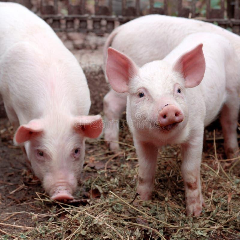 Dos pequeños cerdos lindos en la granja fotos de archivo libres de regalías