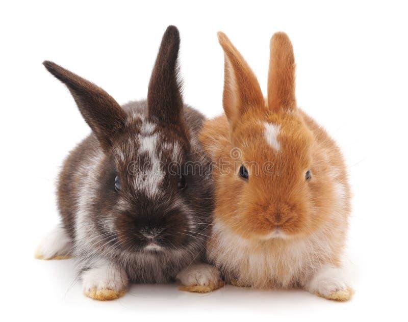 Dos pequeños conejos fotografía de archivo libre de regalías