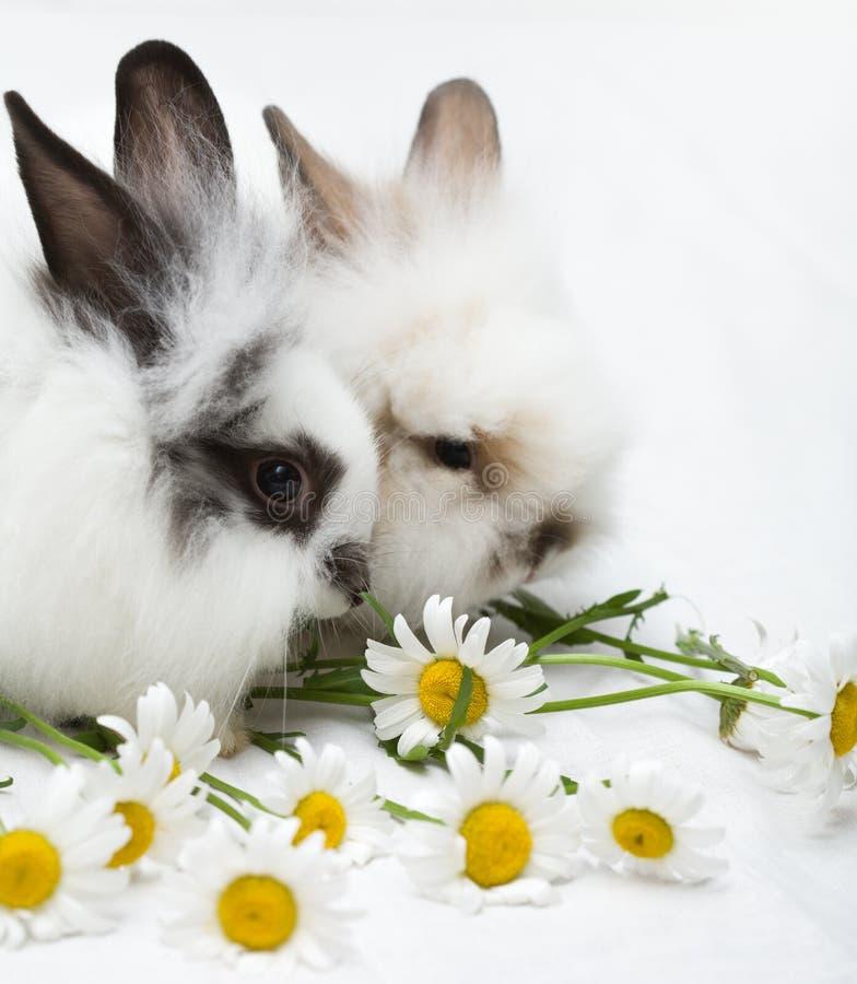 Dos pequeños conejos foto de archivo libre de regalías