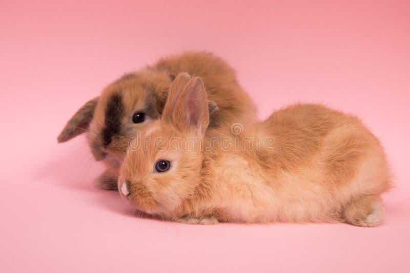 Dos pequeños conejos fotografía de archivo