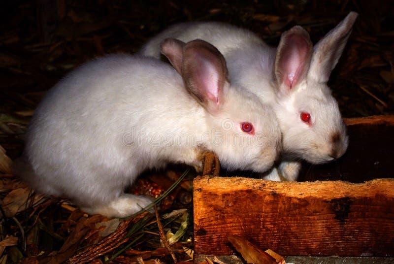 Dos pequeños conejos blancos vienen al canal y esperan imagen de archivo libre de regalías