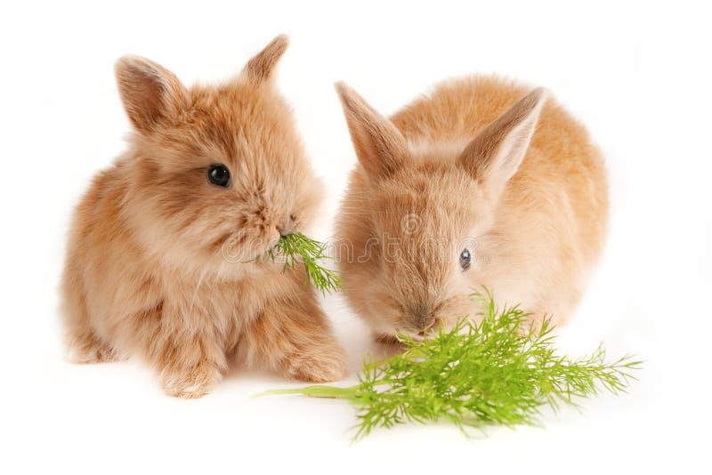 Dos peque?os conejos rojos mastican una rama del hinojo foto de archivo