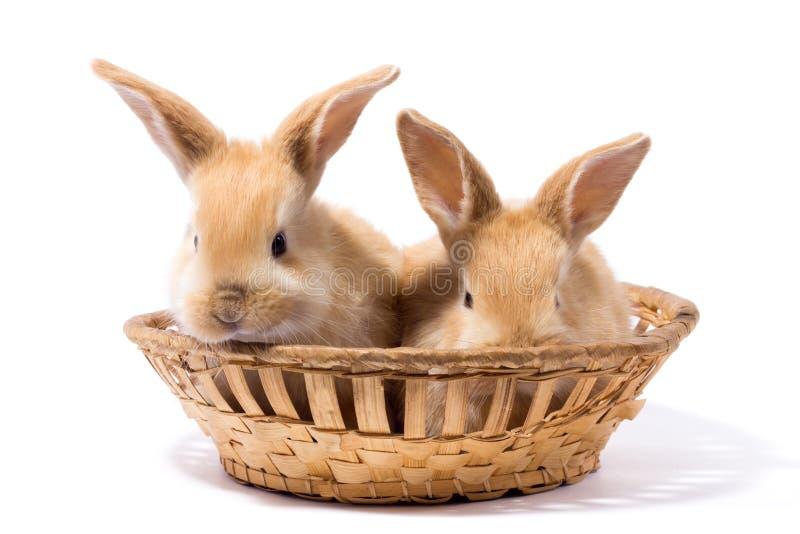 Dos pequeños conejos rojos mullidos en una cesta, aislante fotografía de archivo