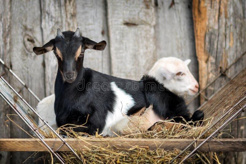 Dos pequeños goatlings jovenes blancos y negros en el pesebre imagen de archivo libre de regalías
