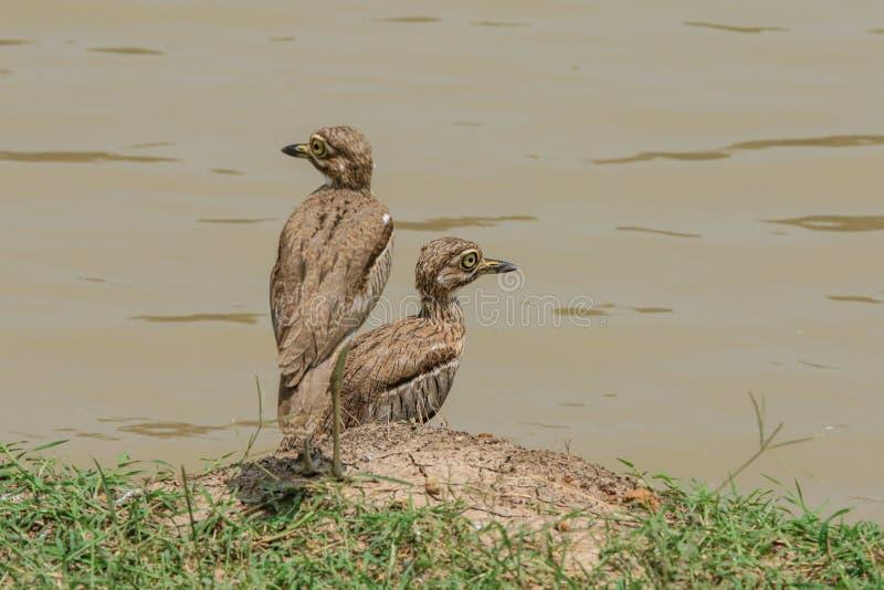 Dos pequeños pájaros en el parque nacional de Mikumi, Tanzania imagenes de archivo