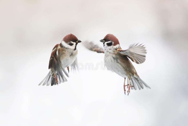 Dos pequeños pájaros lindos del gorrión que vuelan en el aire y su separado imagen de archivo