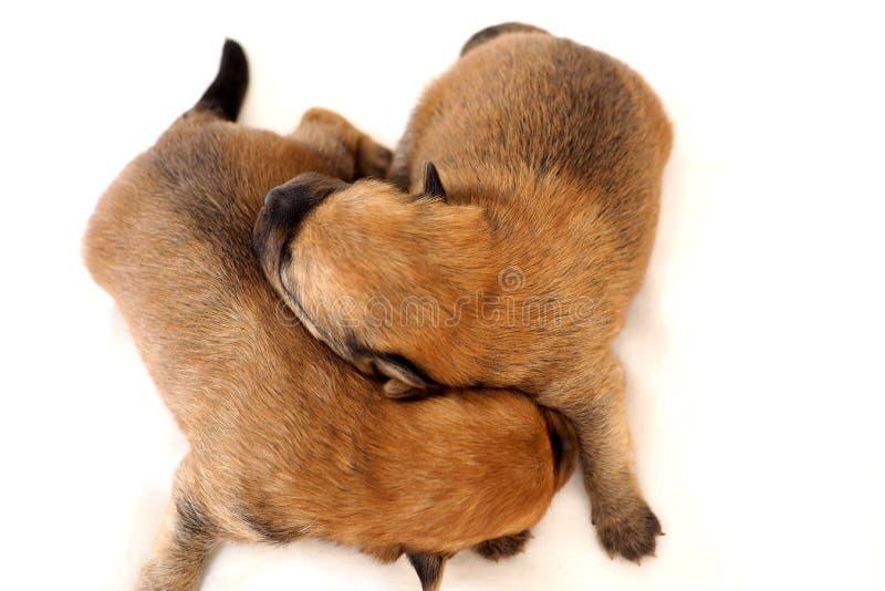 Dos pequeños perritos lindos desde arriba imagenes de archivo