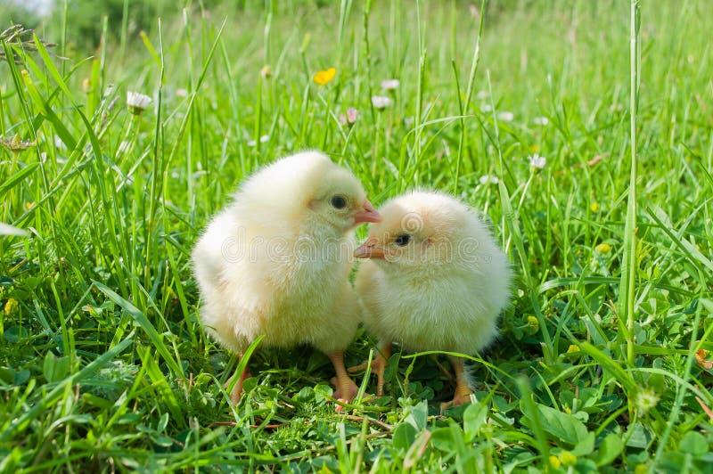 Dos pequeños polluelos blancos en hierba verde foto de archivo libre de regalías