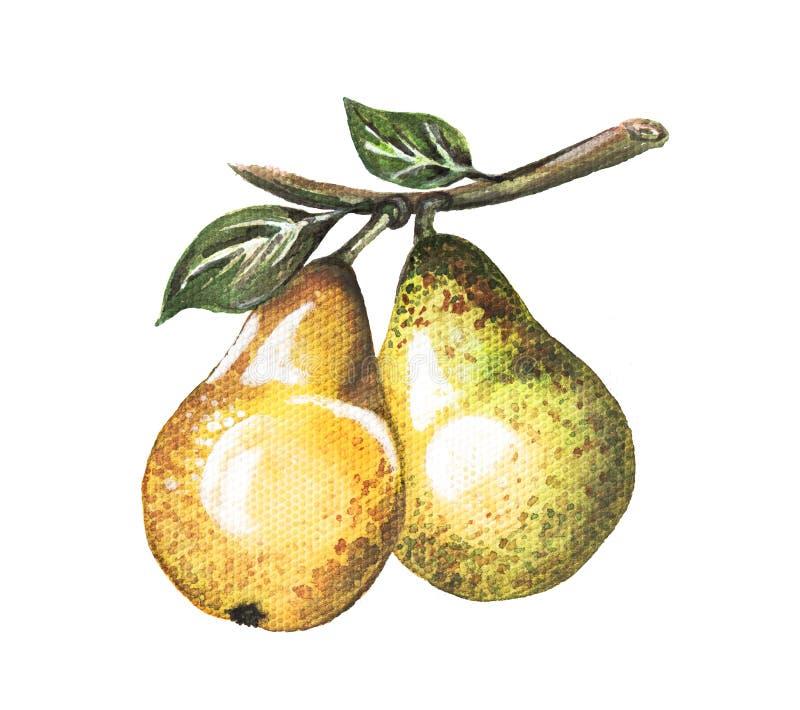 Dos peras en una rama watercolor Hecho a mano libre illustration