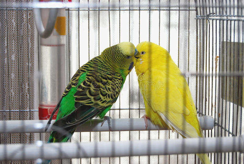 Dos periquitos que se besan en jaula foto de archivo