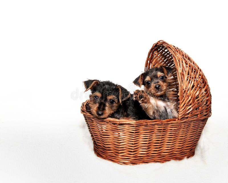 Dos perritos adorables del terrier en cesta foto de archivo libre de regalías