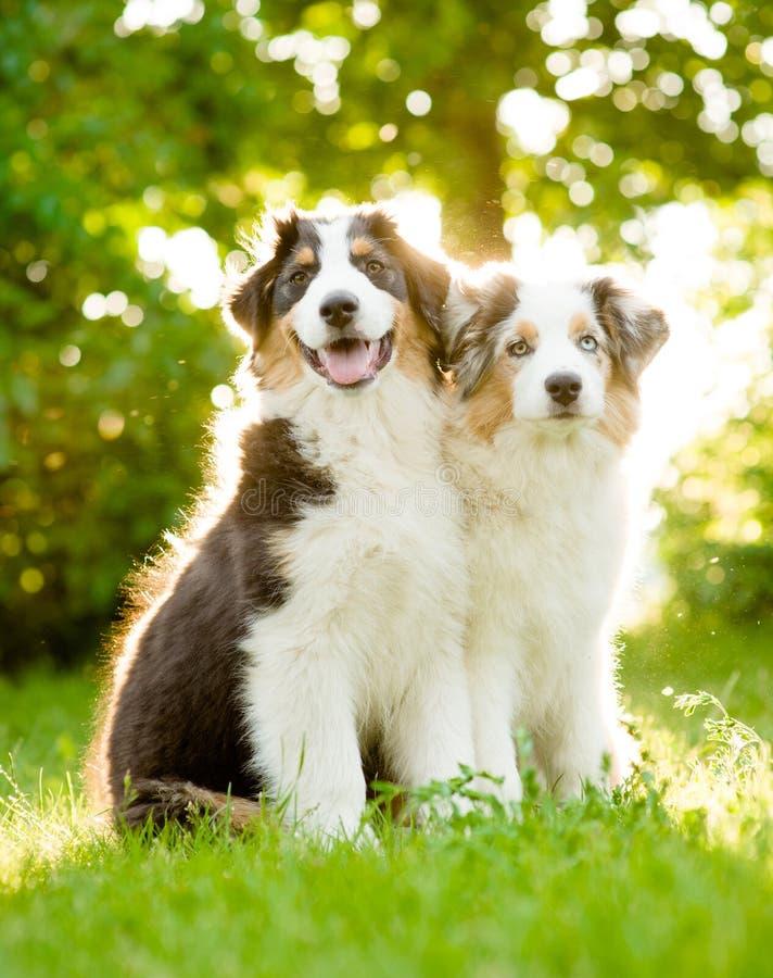 Dos perritos australianos del pastor en hierba verde, fotografía de archivo libre de regalías