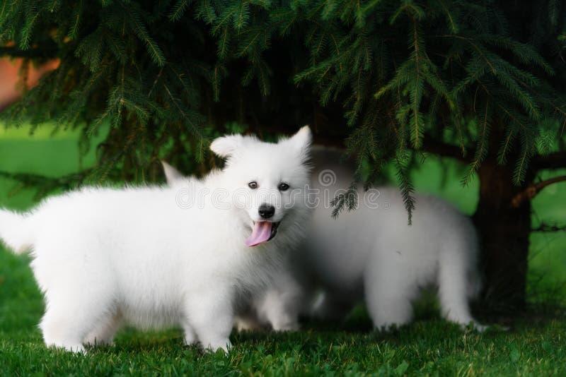 Dos perritos blancos de los pastores del suizo imagen de archivo