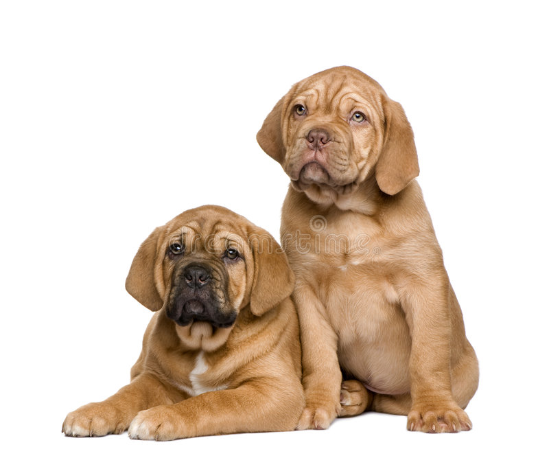 Dos perritos de Dogue de Bordeaux (2 meses) fotos de archivo