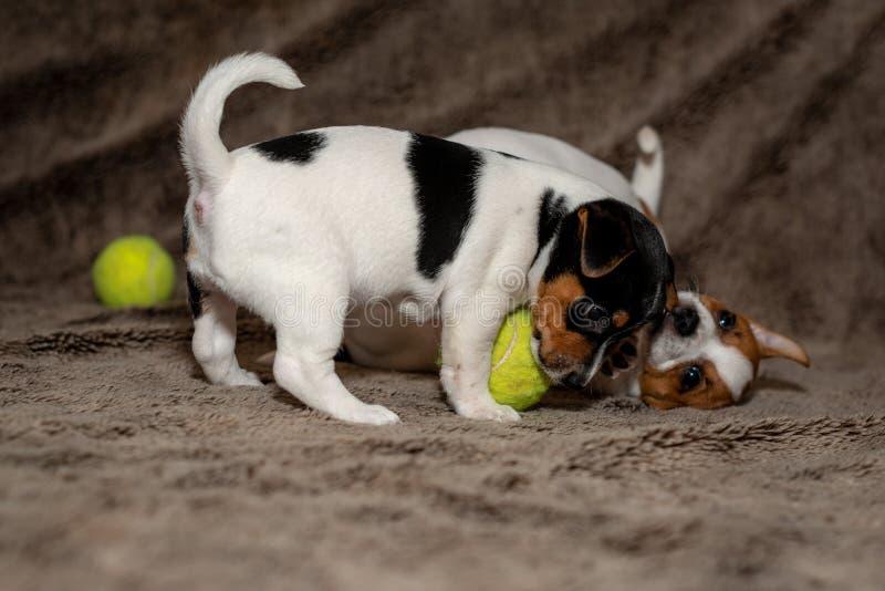 Dos perritos de Jack Russell juegan con uno a para las mantas marrones imagen de archivo libre de regalías
