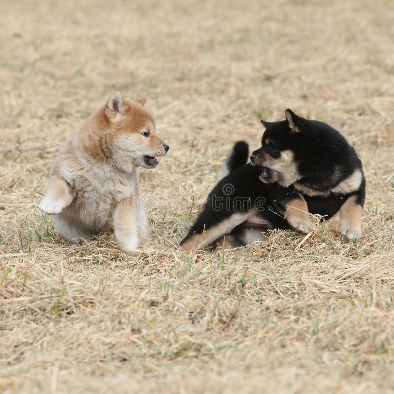 Dos perritos de jugar del inu de Shiba imágenes de archivo libres de regalías