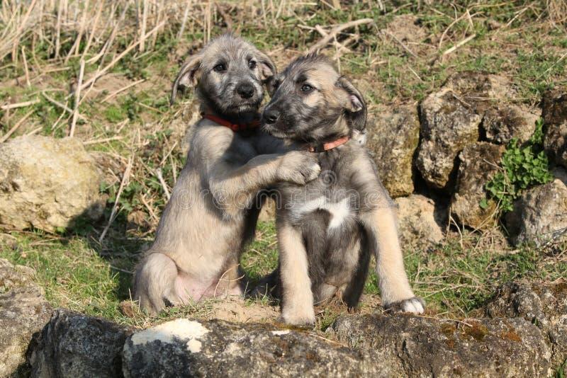 Dos perritos de perro lobo irlandés en el jardín imagen de archivo libre de regalías