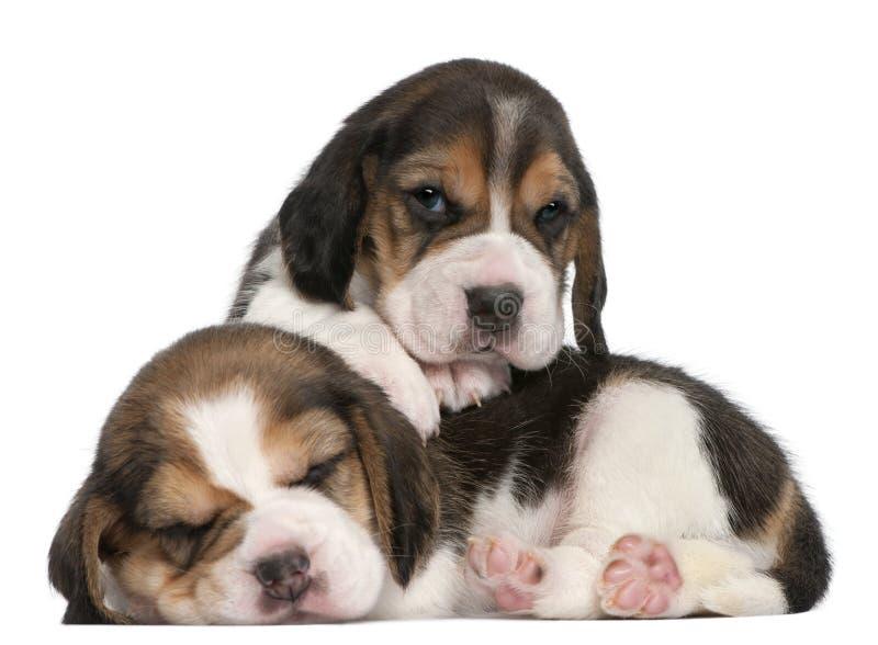 Dos perritos del beagle, 1 mes de viejo fotografía de archivo