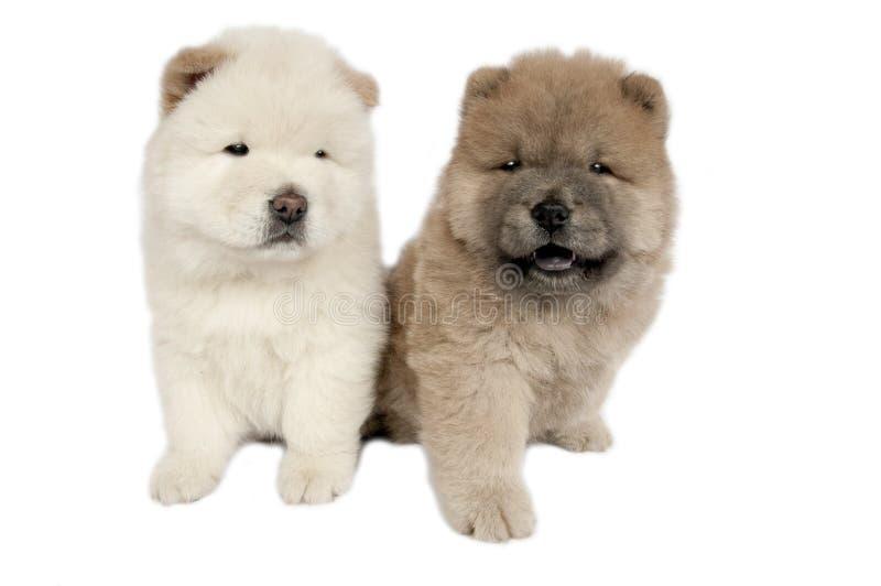 Dos perritos del chow-chow. imagen de archivo libre de regalías