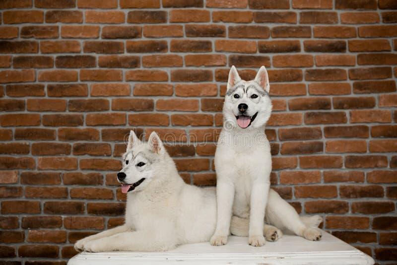 Dos perritos del husky siberiano en casa se sientan y juegan forma de vida con el perro fotos de archivo libres de regalías