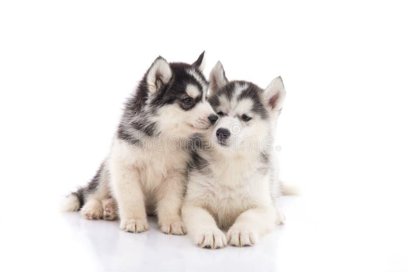 Dos perritos del husky siberiano que se besan en el fondo blanco fotografía de archivo