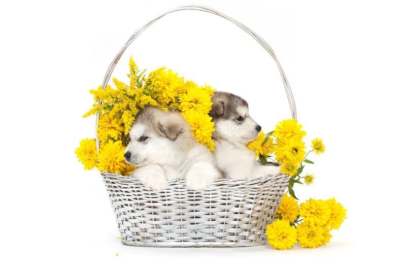 Dos perritos del malamute con las flores imagenes de archivo