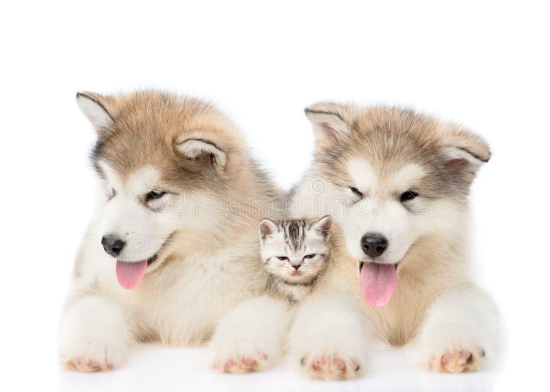 Dos perritos del malamute de Alaska que mienten con el gatito minúsculo Aislado en el fondo blanco fotografía de archivo