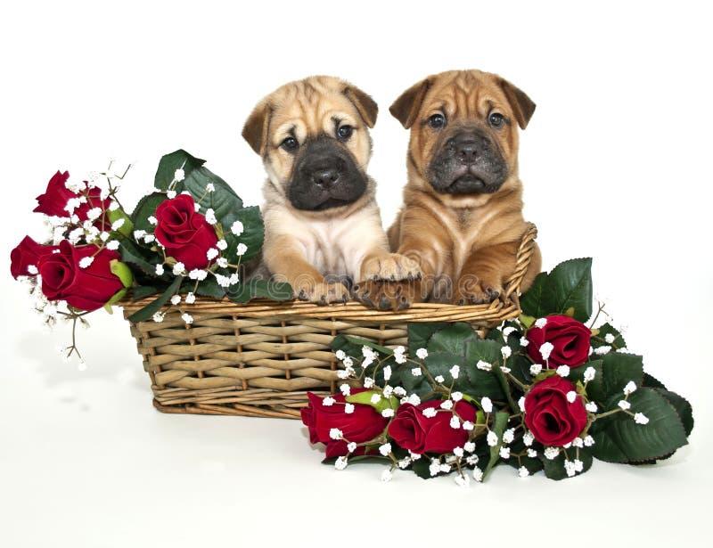 Dos perritos del pei de Shar que llevan a cabo las manos fotografía de archivo libre de regalías