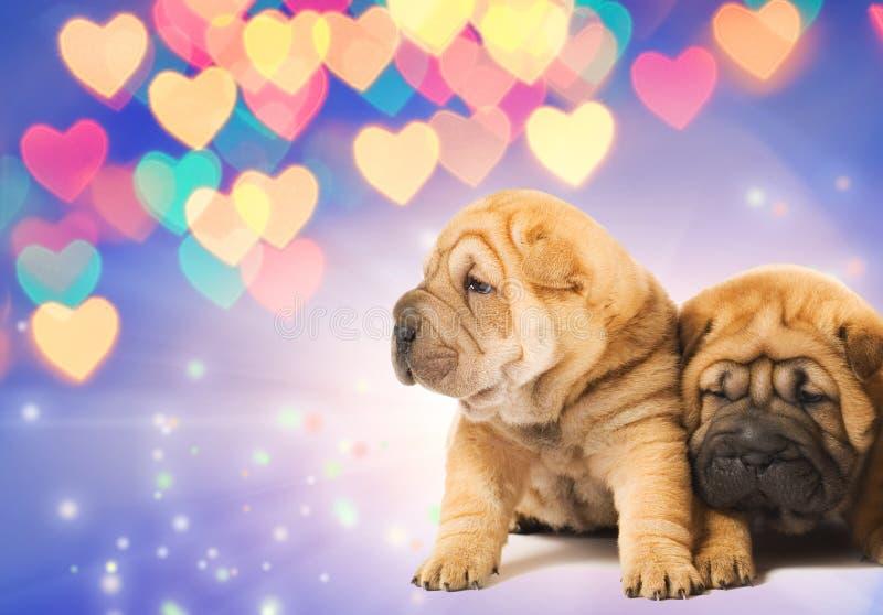 Dos perritos del shar-pei en amor imagen de archivo libre de regalías