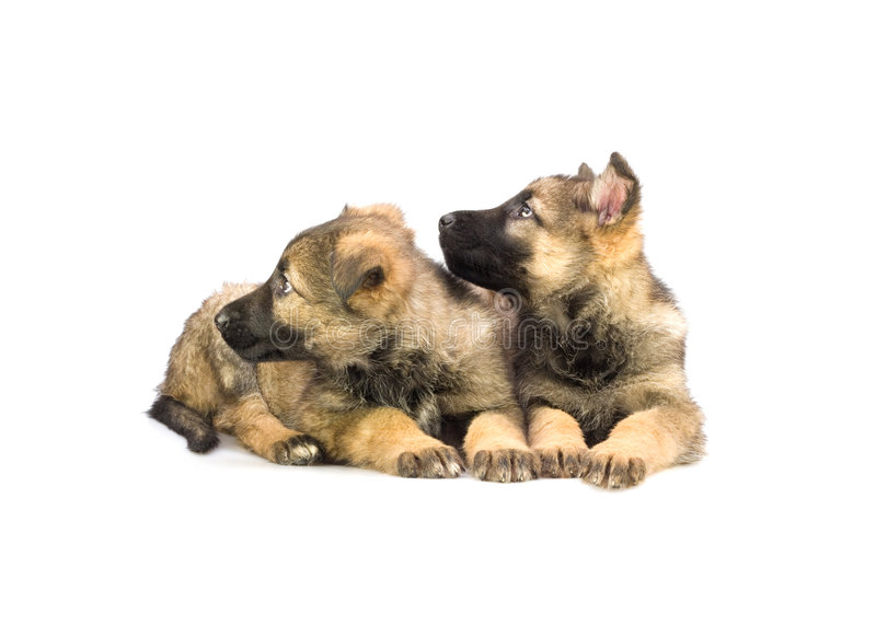 Dos perritos dulces del perro pastor de Alemania imágenes de archivo libres de regalías