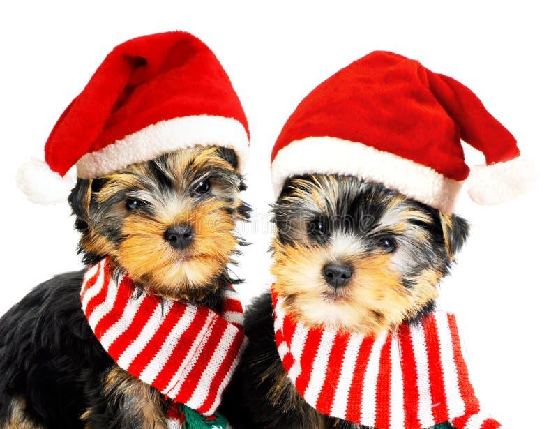 Dos perritos en los sombreros rojos de Papá Noel foto de archivo libre de regalías