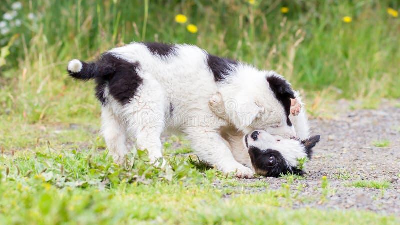 Dos perritos juguetones del border collie fotos de archivo libres de regalías