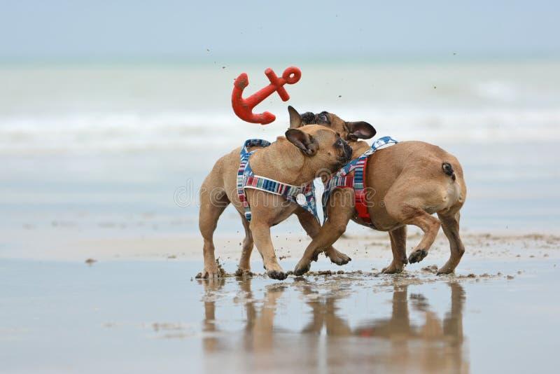 Dos perros Bulldog franceses se tropiezan entre sí por qué jugar a fetán con juguete de ancla en la playa fotografía de archivo