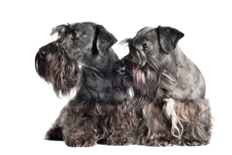 Dos perros cesky del terrier junto imagen de archivo