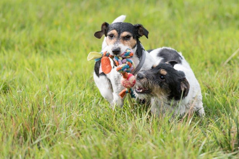Dos perros corren y juegan con una bola en un prado Un perrito lindo joven de Jack Russell Terrier con su perra foto de archivo libre de regalías