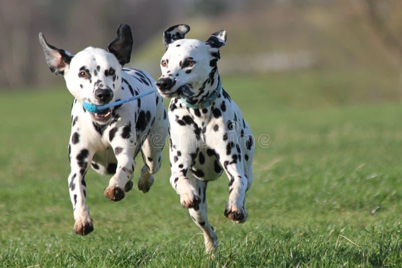 Dos perros dálmatas que corren adelante foto de archivo