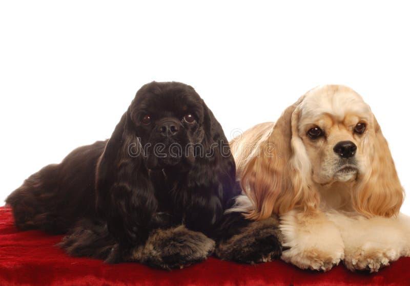 Dos perros de aguas de cocker imagen de archivo libre de regalías