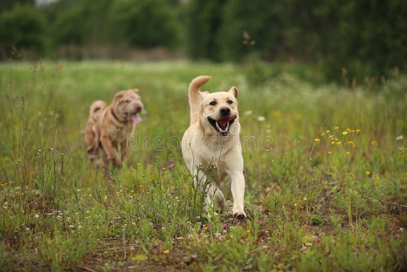 Dos perros de funcionamiento Labrador y pei de oro de Shar en prado verde fotografía de archivo