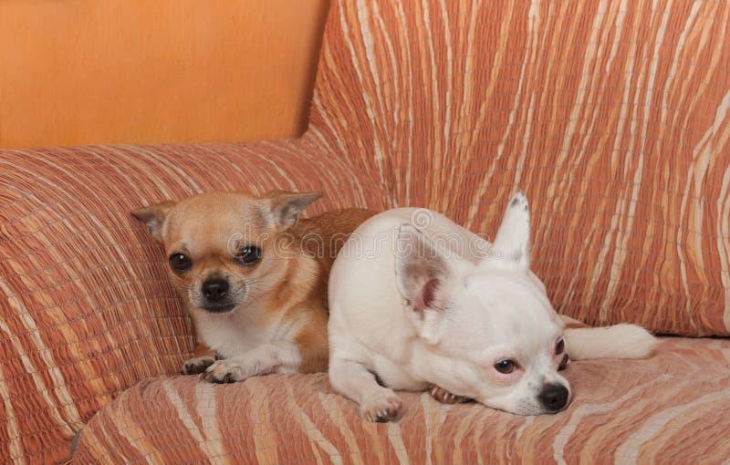 Dos perros de la chihuahua est?n mintiendo en el sof?, 2,5 a?os de la hembra del canela y 5 a?os de la hembra blanca fotografía de archivo